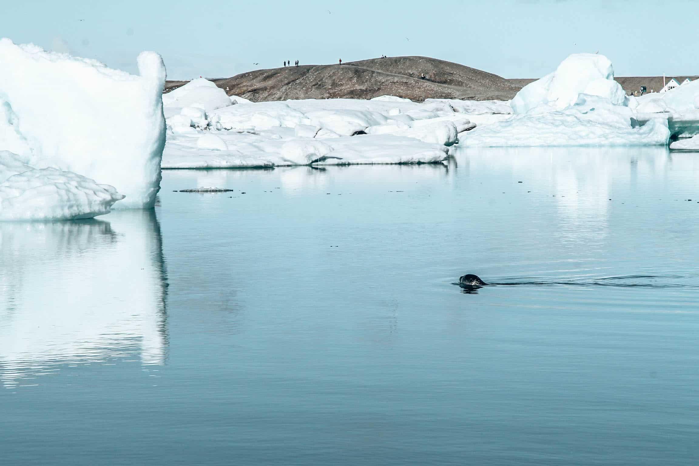 Jokulsarlon seal in water