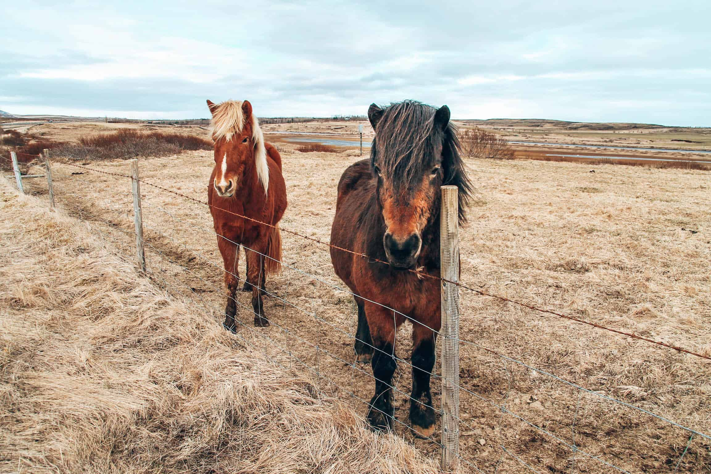 Two Iceland Ponies at fence