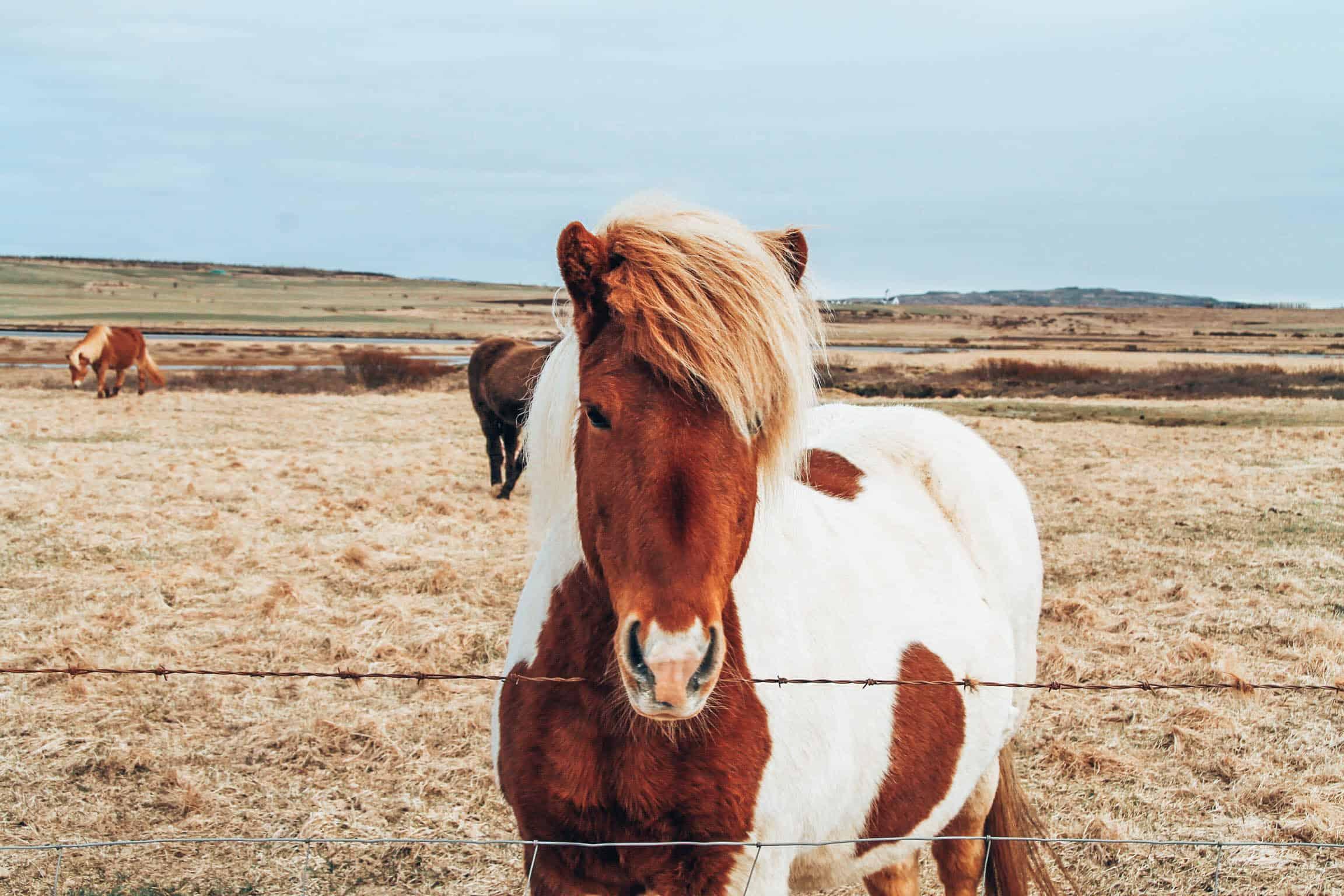 Iceland Pony Fence