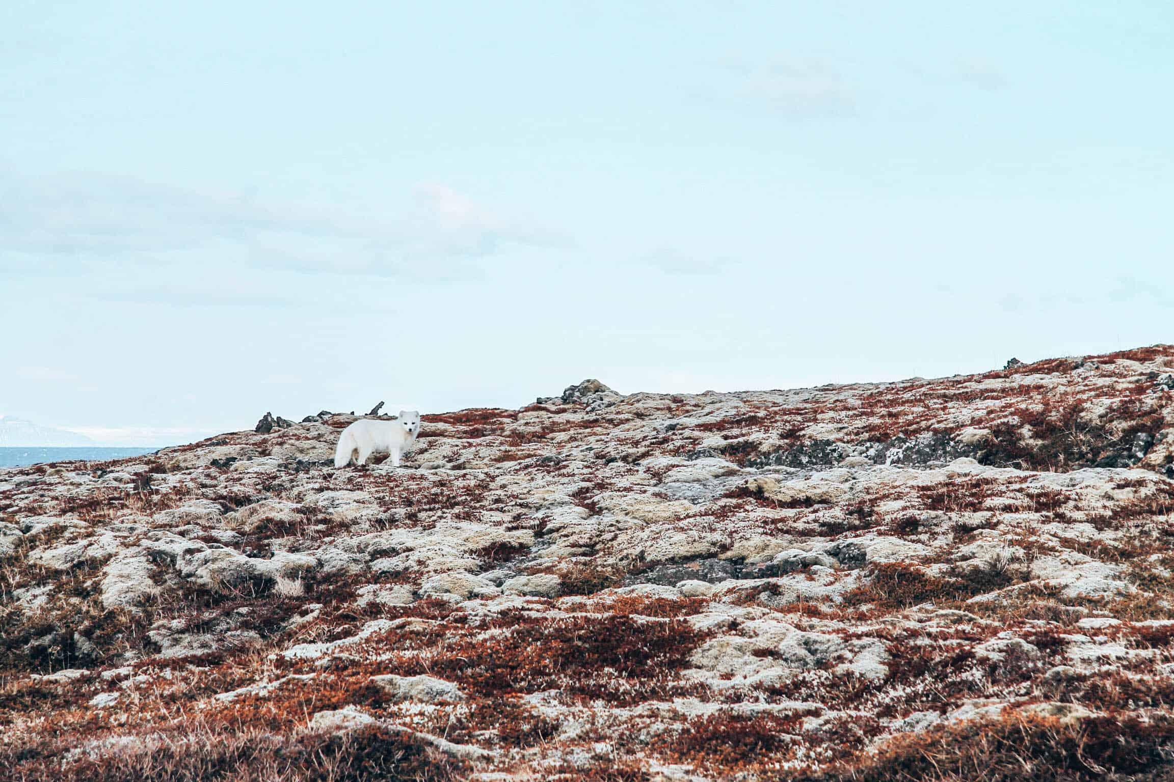 Iceland Snow Fox