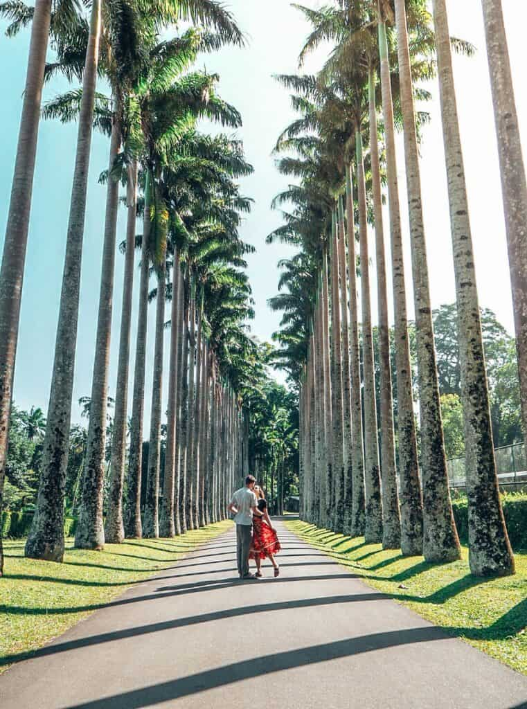 Palm tree street royal botanic gardens kandy sri lanka