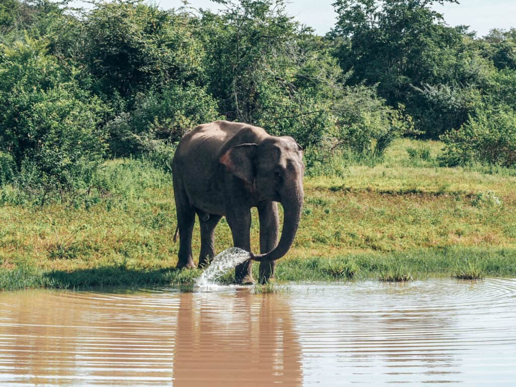 Elephant at water hole in Udawalawe National Park Sri Lanka