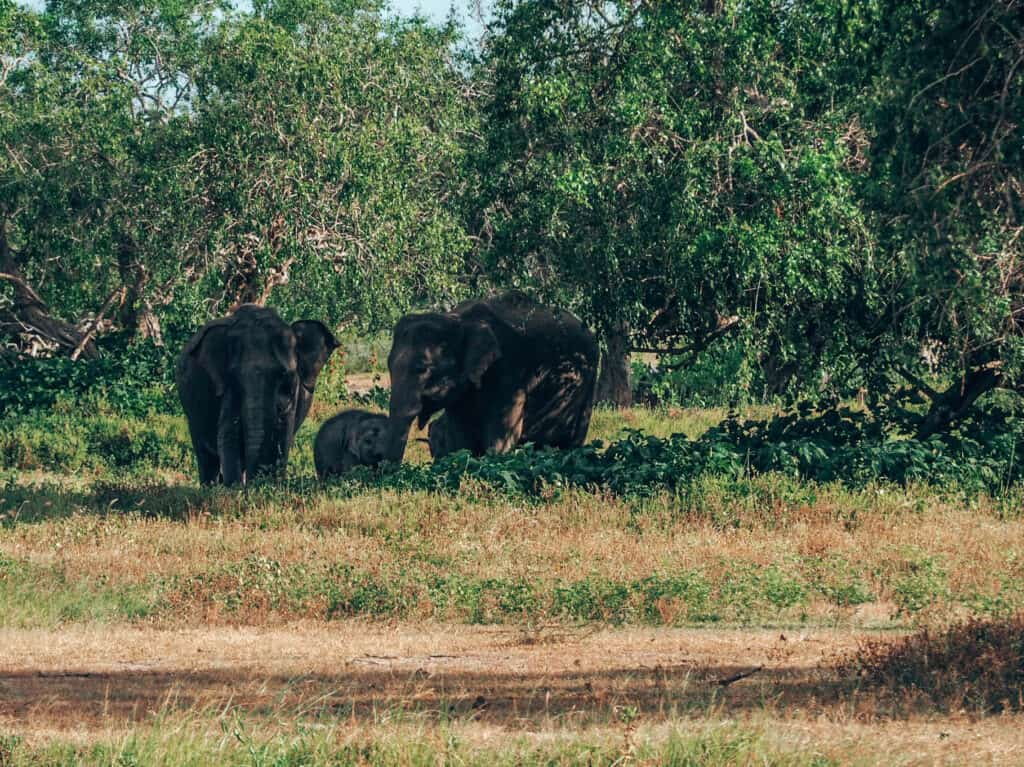 Yala National Park Elephant Family