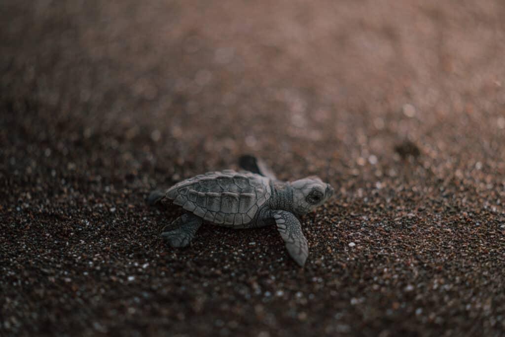 Turtles Hatching Ostional Beach, Costa Rica