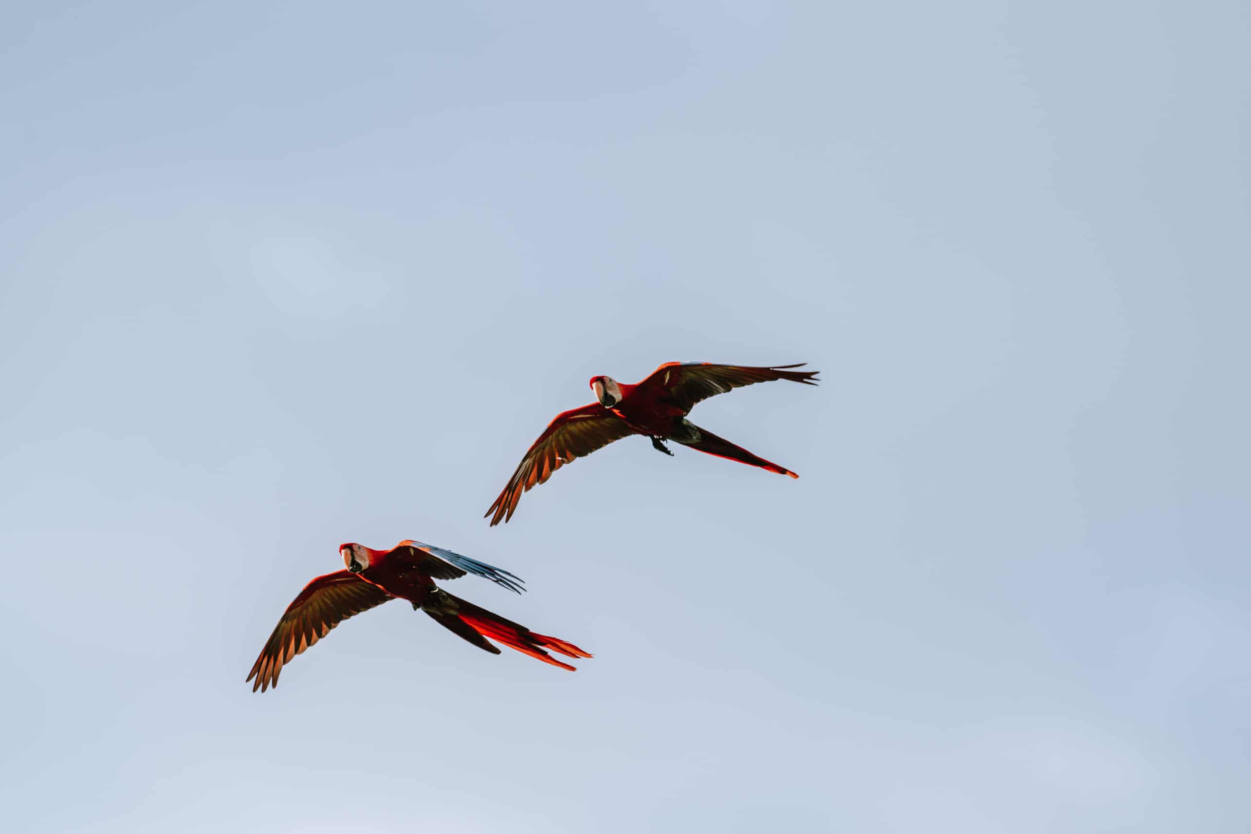 Two parrots flying next to each other