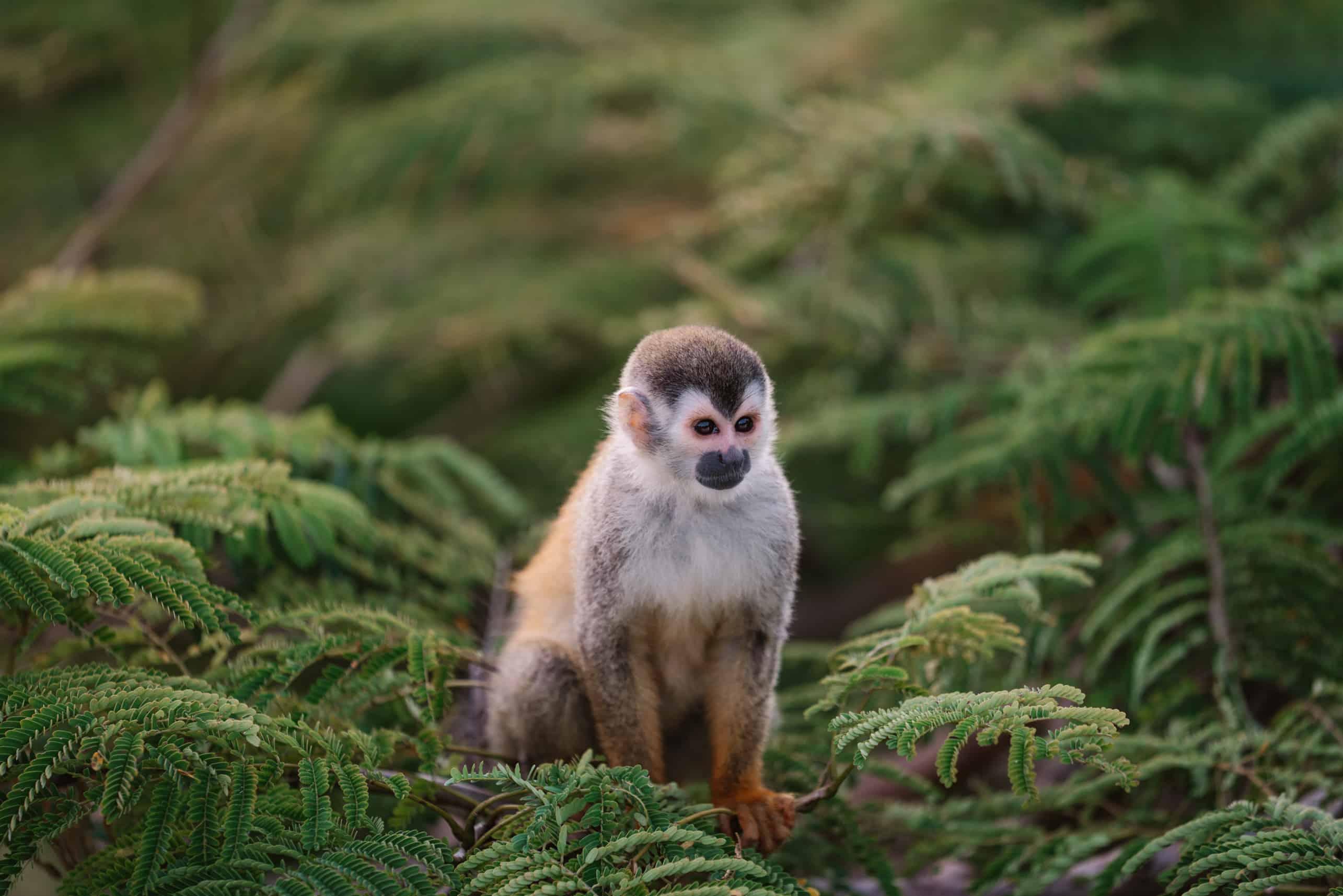 Squirrel Monkey sitting in Treetop Quepos Manuel Antonio Costa Rica