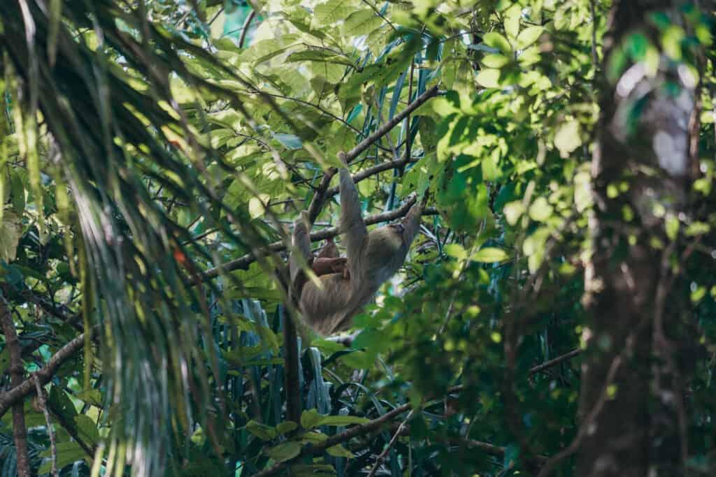 Sloth hanging in Tree at Manuel Antonio Costa Rica