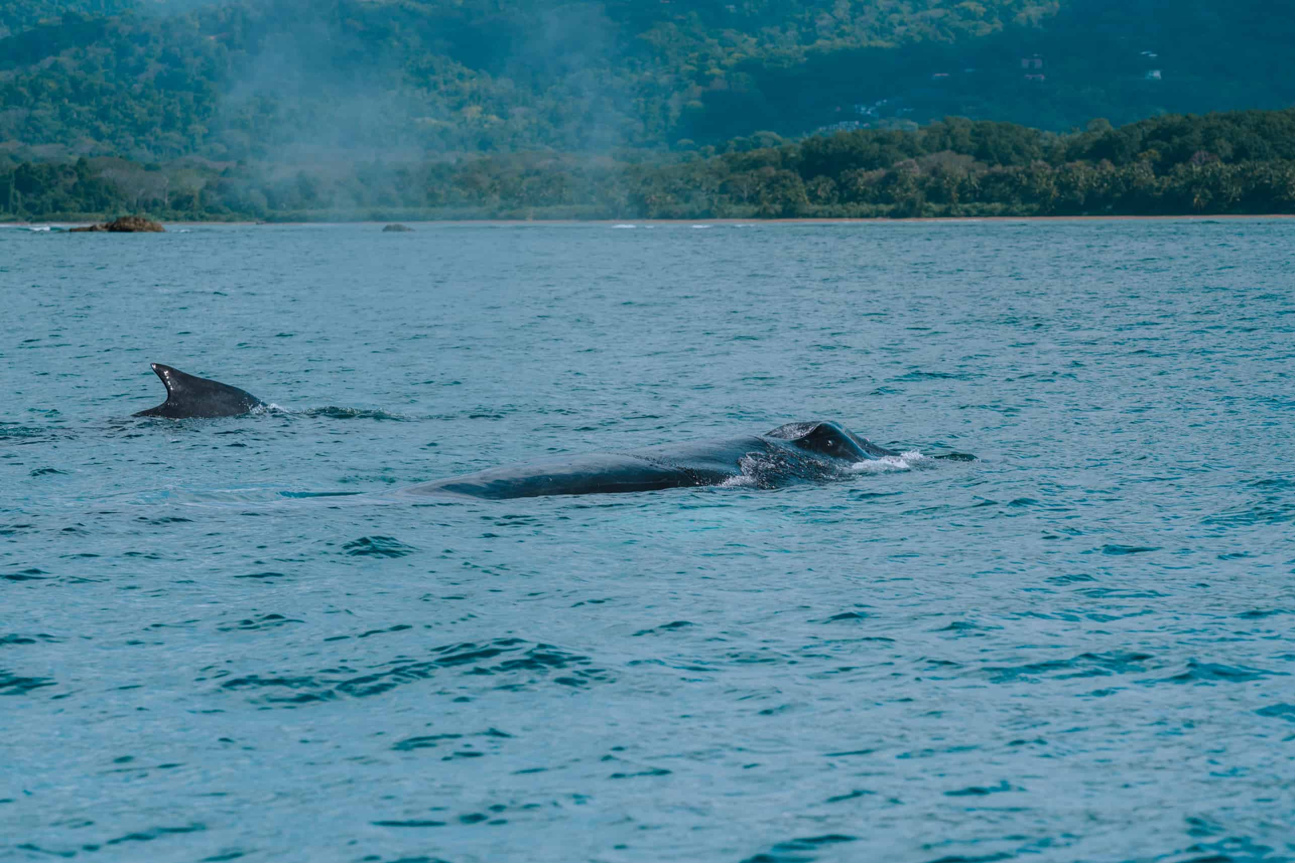 Humpback whales coming to surface to breath Marino Ballena National Park Costa Rica