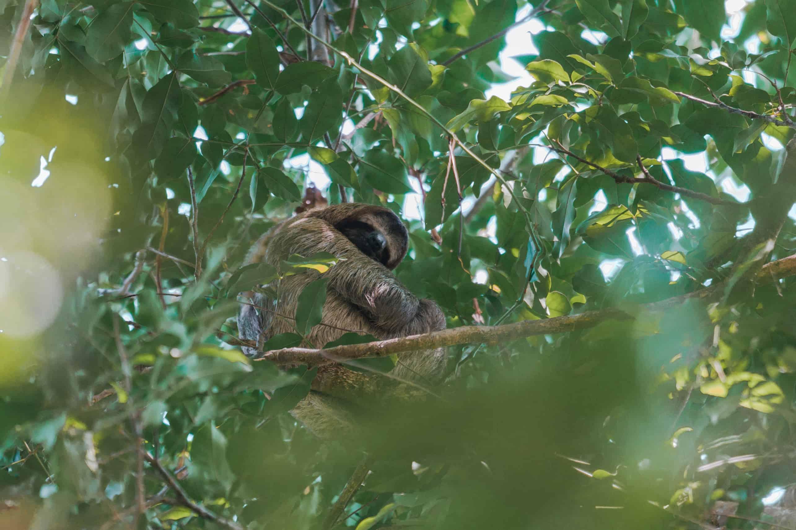 Sloth sitting on tree at Manuel Antonio Costa Rica