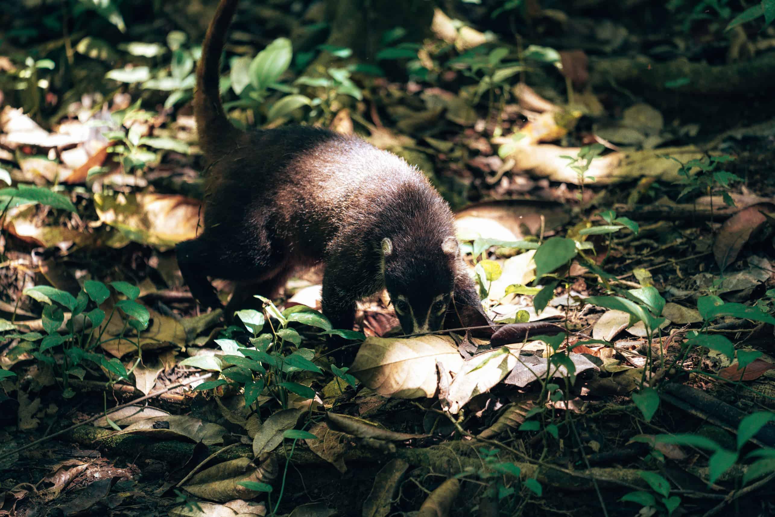 Coati Corcovado national park