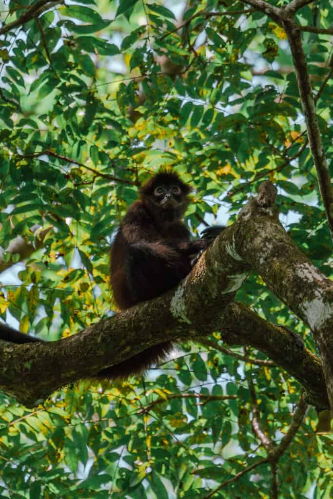 Spider Monkey Corcovado national park