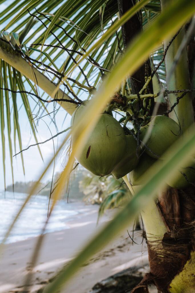 Punta Uva Coconuts
